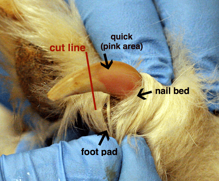 Anatomy of Dog's Nail